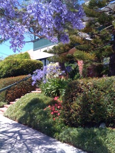 Jacaranda and agapanthus
