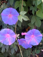 Morning Glory2